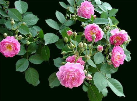 蔷薇花的观赏作用