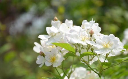 蔷薇花的药用价值