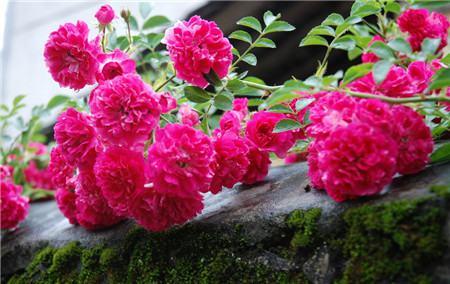 蔷薇花的食用方法
