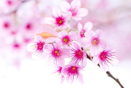樱花的生长习性