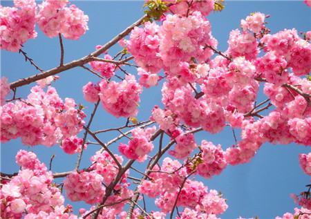 樱花病害图