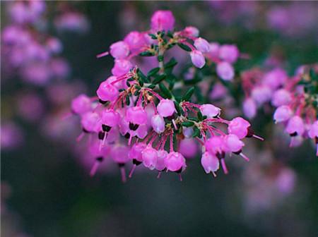 欧石楠播种繁殖