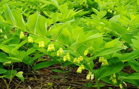 玉竹的生态习性