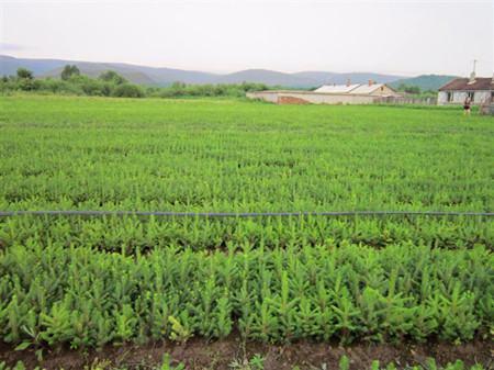 玉竹的种子繁殖