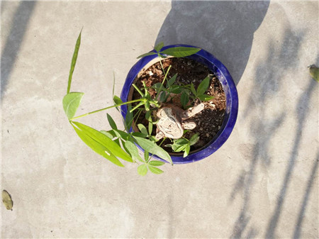 发财树冬天浇水过多