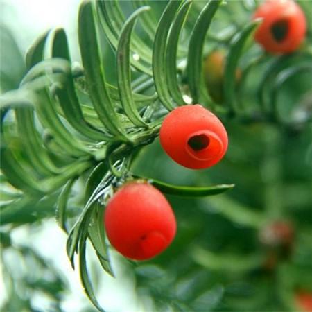 红豆杉的播种繁殖