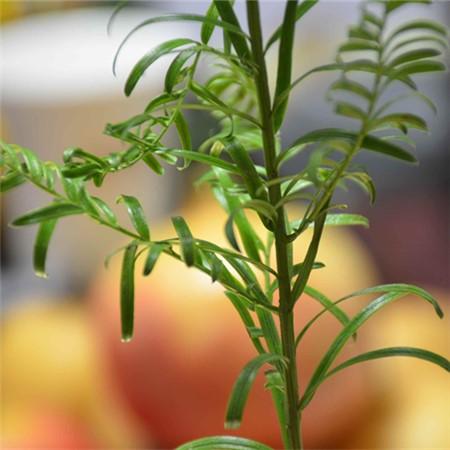 红豆杉扦插繁殖的方法