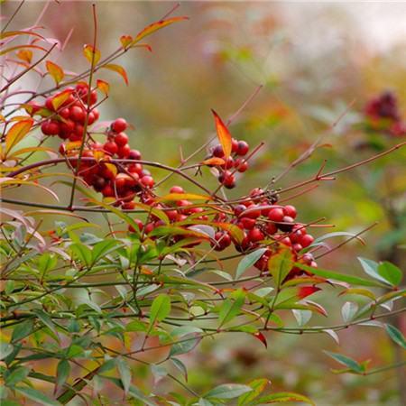 南天竹的分株繁殖