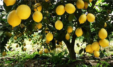 柠檬的传奇事迹