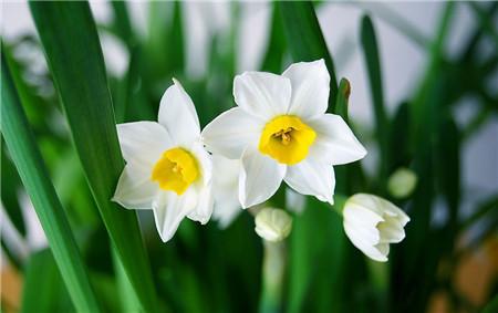 水仙花的生日花
