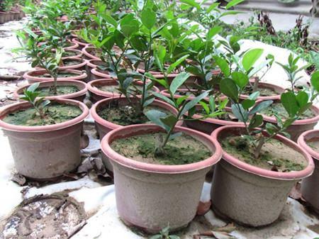 盆栽柠檬春季修剪以及换盆换土
