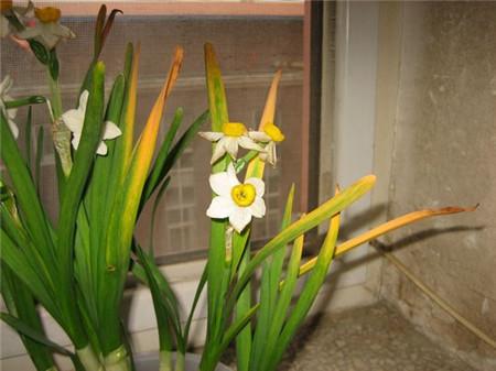 水仙叶子发黄原因
