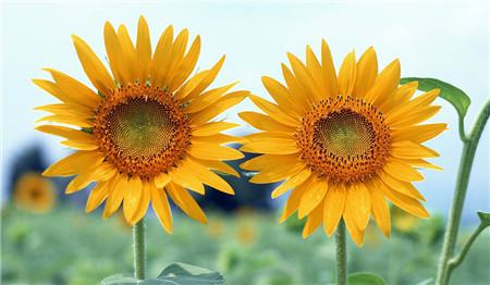 向日葵为什么会向着太阳呢