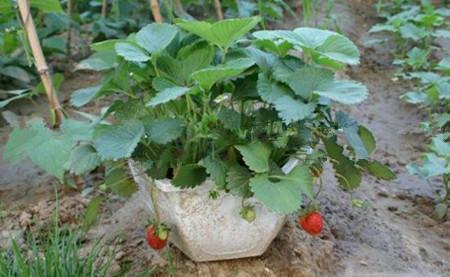 匍匐茎分株法繁殖