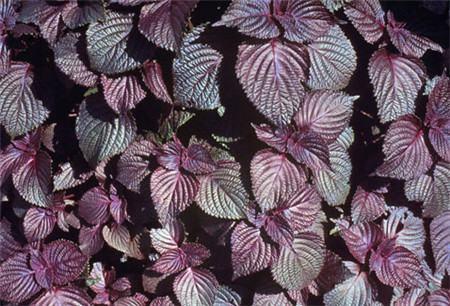 紫苏的花语