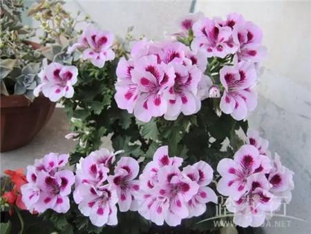 踏花行论坛_这3种花,花色品种繁多,95%的花友都在种 - 花百科