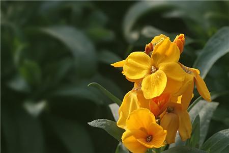 桂竹香二次开花