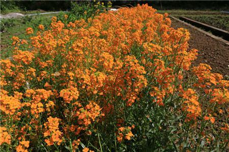 桂竹香的花期控制