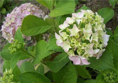 八仙花自然转变成绿色
