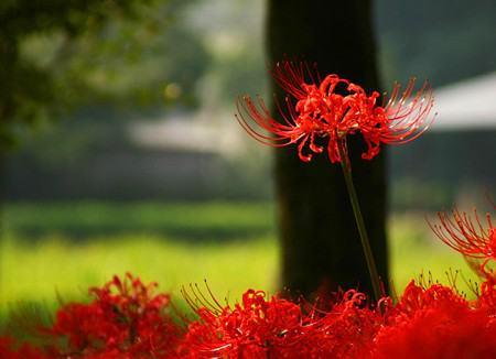 彼岸花的花语和传说