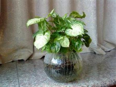 花叶芋可以水培