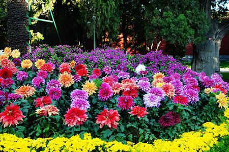 植物红掌怎么养_大丽花和大立菊的区别 - 花百科