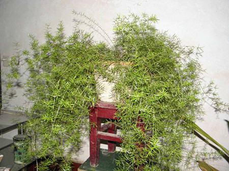 武竹的植株特征