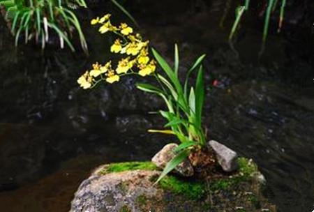 文心兰花的象征意义