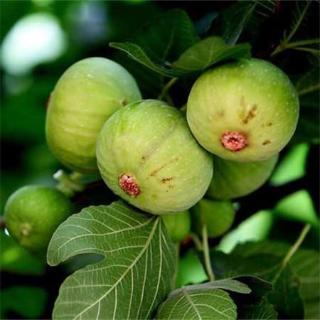 无花果品种图片