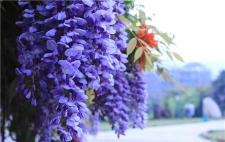 紫藤花欣赏