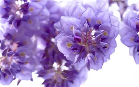 紫藤花开花