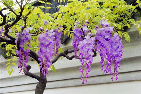紫藤图片欣赏