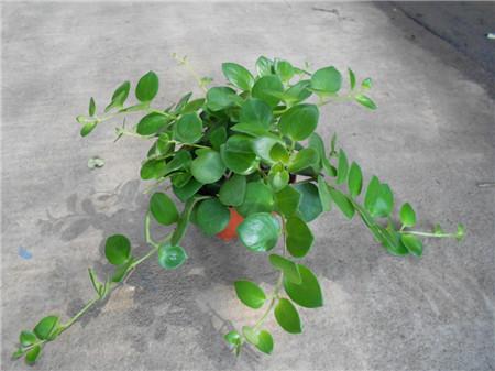 口红花掉叶子是根的问题