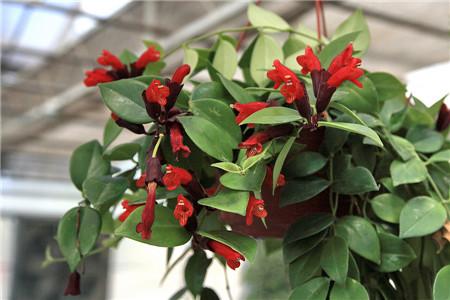 口红花掉叶子是温度的问题