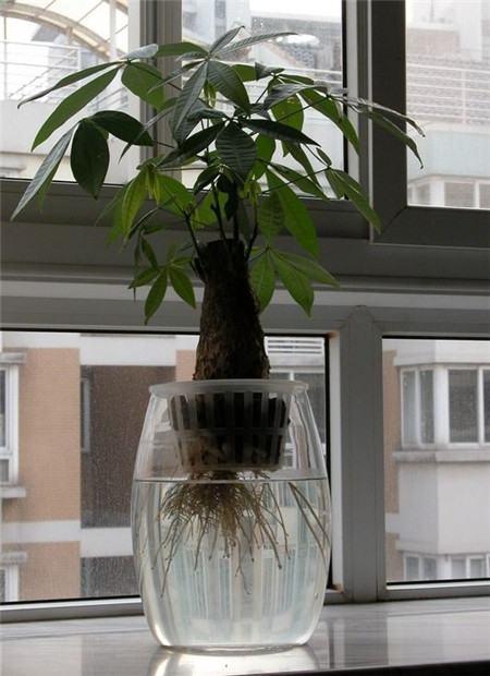 水培发财树烂根怎么办