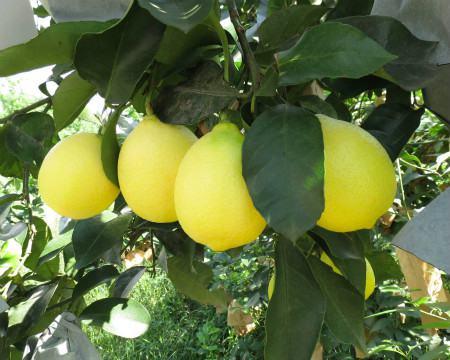柠檬溃疡病