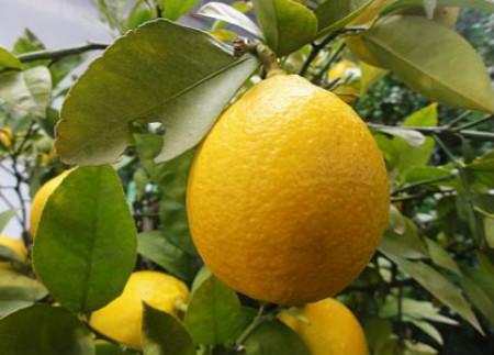 柠檬疮痂病