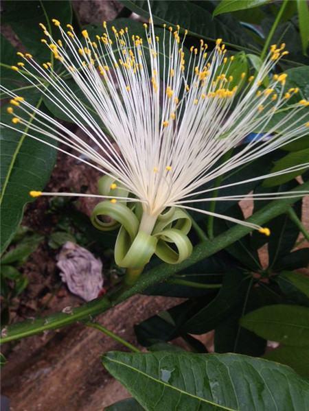 发财树怎样可以开花