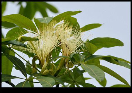 发财树开花的图片