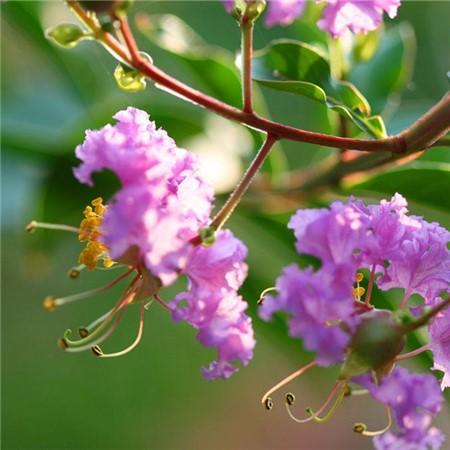 紫薇施肥方法