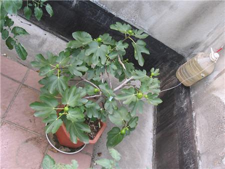阳台无花果的水肥