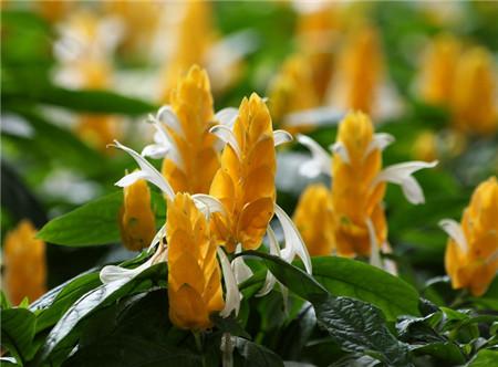 金苞花一年四季开花的技巧
