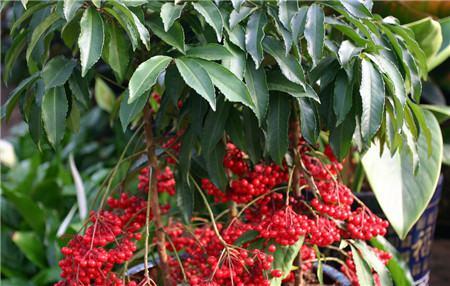 朱砂根的春季养护方法