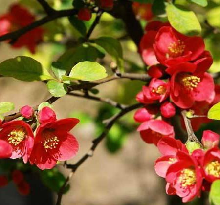 大叶海棠的繁殖方法_贴梗海棠如何修剪 - 花百科