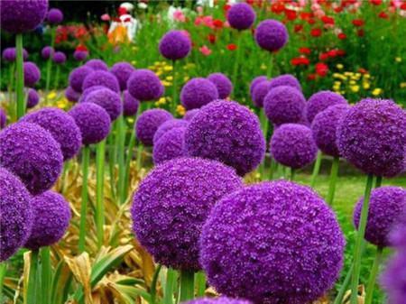 花葱开花图片欣赏