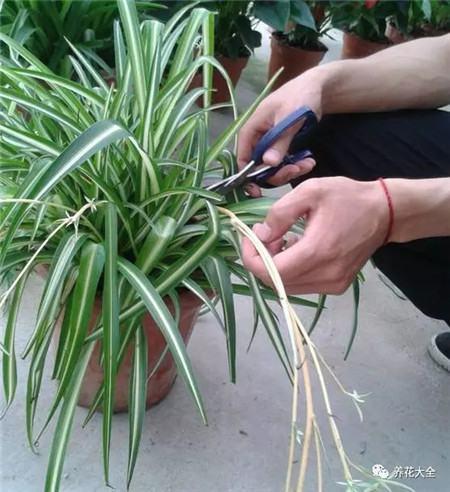 剪取吊兰匍匐茎