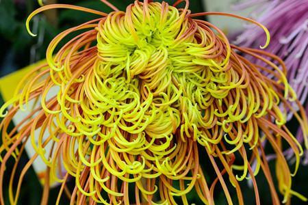 菊花的品种