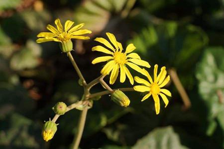 菊花按照颜色分类