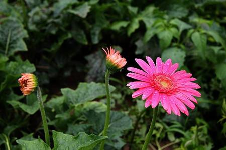 常见的菊花种类