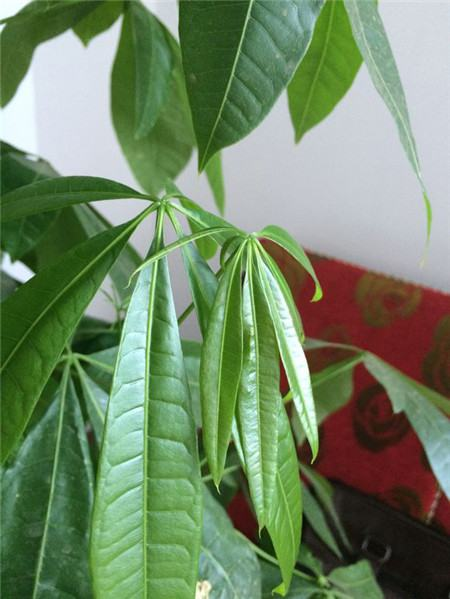 发财树叶子下垂怎么办图片